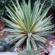 Yucca gloriosa 'Variegata' / Pálmaliliom