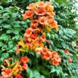 Campsis 'Orange Dream' / Narancssárga virágú trombitafolyondár