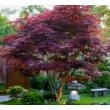 Acer palmatum 'Bloodgood' / Bordó levelű japán juhar