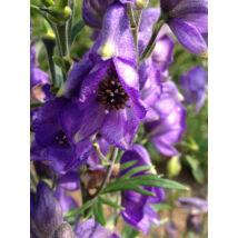 Aconitum / Sisakvirág