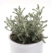 Santolina chamaecyparissus / Hamvas cipruska
