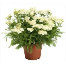 Alchillea millefolium / Közönséges cickafark
