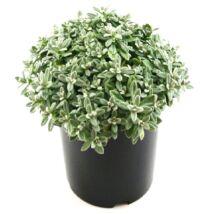 Cerastium tomentosum / Molyhos madárhúr