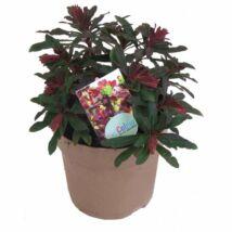 Euphorbia amygdaloides 'Purpurea' / Erdei kutyatej