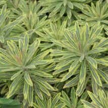 Euphorbia martinii 'Ascot rainbow' / Kutyatej sárga-tarka levelű