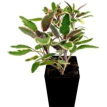 Salvia officinalis tricolor / Tarkalevelű orvosi zsálya