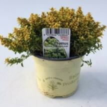 Thymus x citriodorus 'Bertram Anderson' / Citromillatú kakukkfű