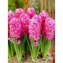 Hyacint Pink pearl / Jácint