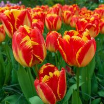 Tulipán Darwin hybrid Banja Luka