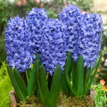 Hyacint Delft Blue / Jácint