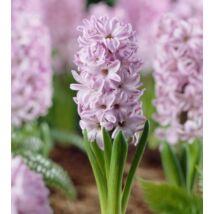 Hyacint Splendid Cornelia / Jácint