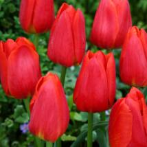 Tulipán Darwin hybrid Apeldoorn