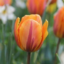 Tulipán Rembrandt Prinses Irene