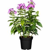 Phlox paniculata / Bugás lángvirág