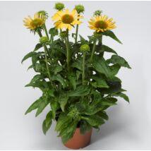 Echinacea / Kasvirág