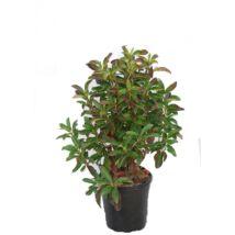 Aronia melanocarpa / Fekete törpeberkenye