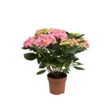 Hydrangea macrophylla / Hortenzia