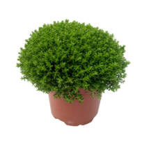 Hebe ' Emerald Green' / Örökzöld veronikacserje 'Emerald Green'