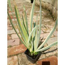 Iris pallida 'Variegata' / Dalmát nőszirom