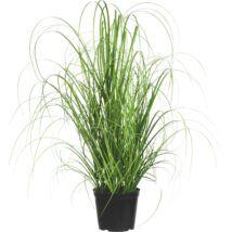 Cortaderia selloana / Ezüstös pampafű
