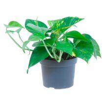 Epipremum pinnatum / Szobafutóka