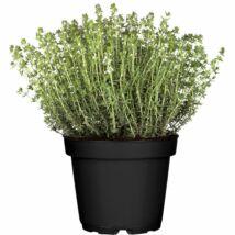 Thymus vulgaris / Kakukkfű