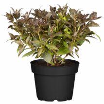 Weigela florida 'Purpurea nana' / Törpe rózsalonc