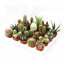 Kaktusz mix - kicsi