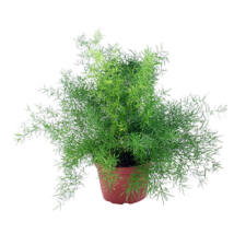Asparagus sp. / Szobai aszparágusz