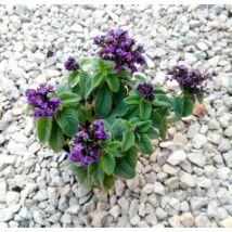 Heliotropium arborescens / Egynyári vanília