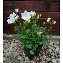Campanula / Harangvirág - fehér