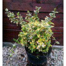 Euonymus fortunei 'Emerald'n Gold' / Arany kecskerágó