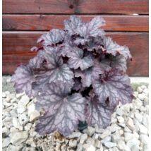 Heuchera 'Palace Purple' / Tűzeső