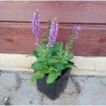 Salvia / Évelő zsálya