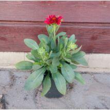 Gaillardia / Kokárda virág