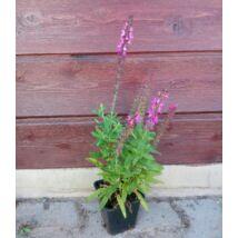 Salvia / Évelő zsálya - rózsaszín