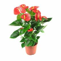 Anthurium andreanum /Flamingóvirág