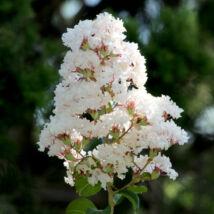 Lagerstroemia indica 'Nivea' / Kínai selyemmirtusz (fehér)