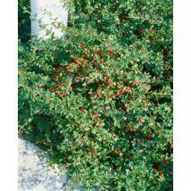 Cotoneaster 'Eichholz' / Madárbirs
