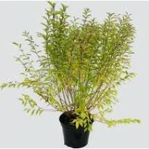 Callicarpa dichotoma / Lilabogyó