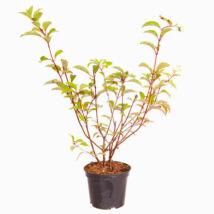 Hydrangea paniculata 'Vanille Fraise' / Bugás hortenzia