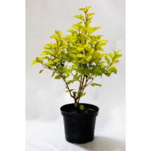 Physocarpus opulifolius 'Luteus' / Sárga levelű hólyagvessző