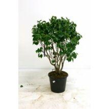 Syringa vulgaris 'Mme lemoine' / Fehér virágú orgona