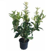 Weigela florida 'Candida' / Fehér virágú rózsalonc