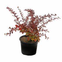 Berberis thunbergii 'Carmen' / Bordó levelű vérborbolya