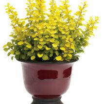 Berberis thunbergii 'Aurea' / Sárga levelű törpe borbolya