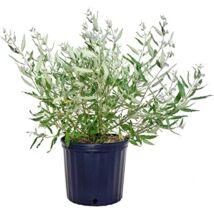 Caryopteris x clandonensis / Kékszakáll