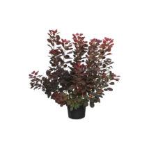 Cotinus coggygria 'Royal purple' / Bíbor cserszömörce