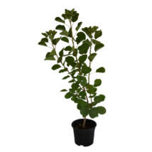 Cotinus coggygria / Cserszömörce