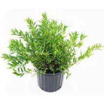 Deutzia gracilis / Karcsú gyöngyvirágcserje